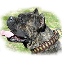 Gorgeous Wide Leather Dog Collar With Plates for CANE CORSO