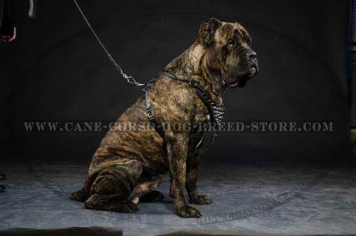 Custom Made Cane Corso Dog Leather Harness Of Tough Exterior