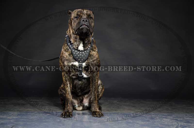 Cane Corso Dog Harness