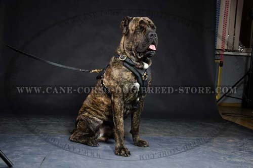 Superior Cane Corso Dog Leather Harness With Y-Shaped  Breast Plate