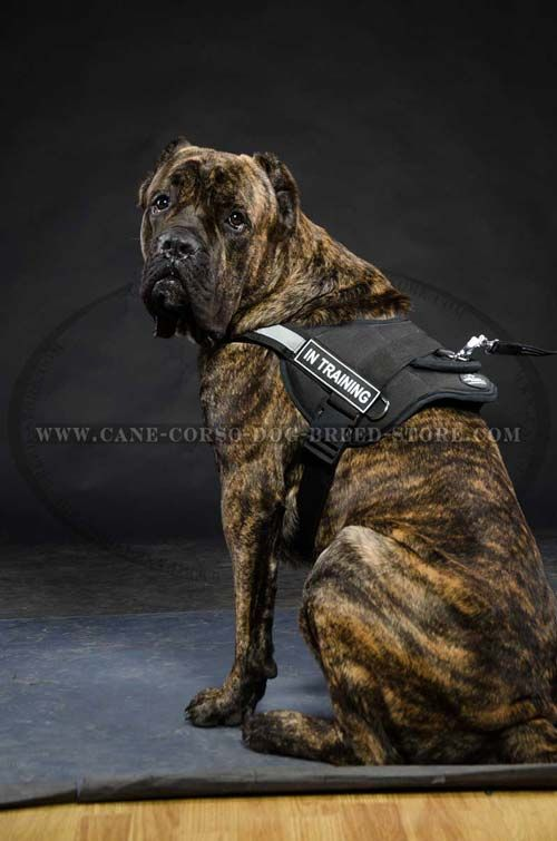 Handcrafted Cane Corso Dog Nylon Harness Is Durable, Weatherproof And Washable