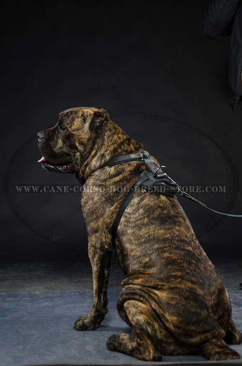 Field Cane Corso Dog Leather Harness Is A Great Training Assistant