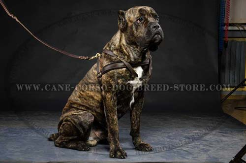 Superior Cane Corso Dog Leather Harness For Regular Usage