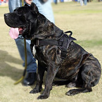 Fashionable dog harness for Cane Corso
