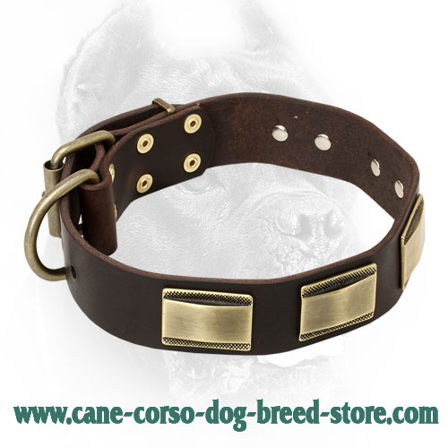 Designer Leather Cane Corso Collar with Vintage Brass Plates