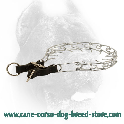 Chrome Plated Cane Corso Prong Collar with Leather Part