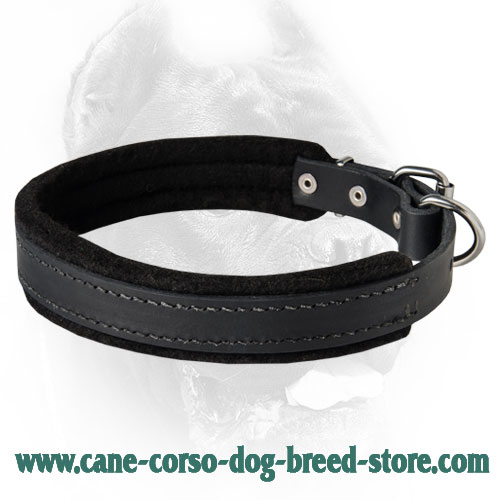 Best Training Dog Collar Padded with Heavy Felt for Cane Corsos (1 inch (2.5cm) width)