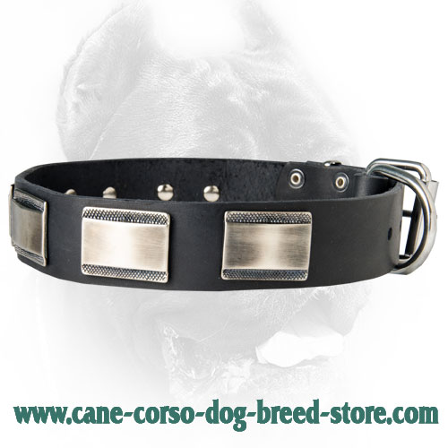 New Designer Dog Collar with Large Nickel Plates for Cane Corso