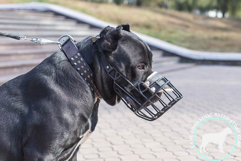 Cane Corso wire muzzle with felt padding on nose