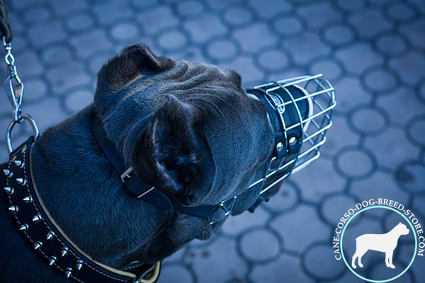 Cane Corso wire basket muzzle of genuine materials with traditional buckle for quality control