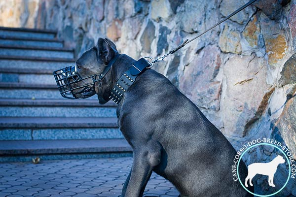 Cane Corso wire cage muzzle with reliable nickel plated fittings for walking