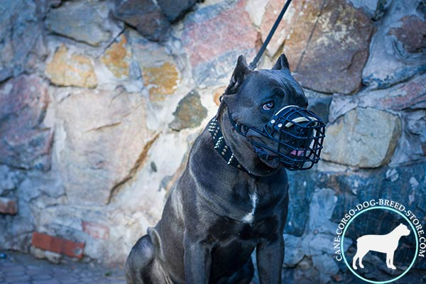 Cane Corso wire cage muzzle with strong hardware for walking